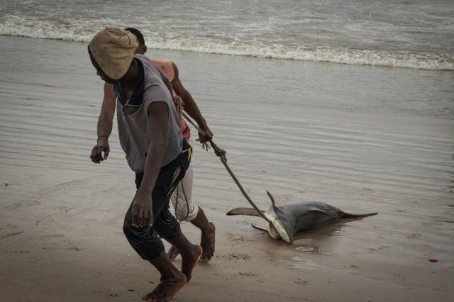 Fishermen dragging a shark