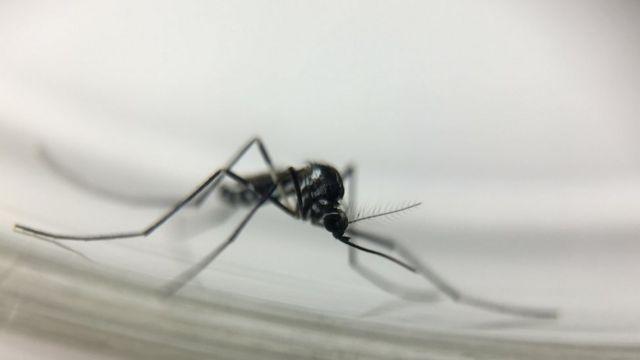 Mosquito Sabethes