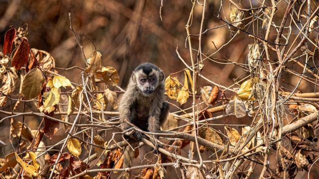 Macaco-prego em árvore seca no Pantanal