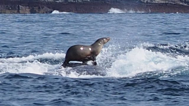 Seal spotted surfing humpback whale in Australia