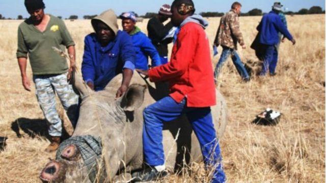 Les cornes de rhinocéros sont prisées en Asie, notamment en Chine et au Vietnam, où on leur prête des vertus thérapeutiques, non prouvées scientifiquement.