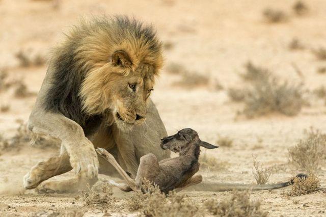 शेर-हिरण
