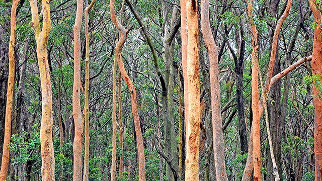 Eucalypt trees and shrubs