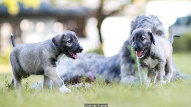 Perros gemelos