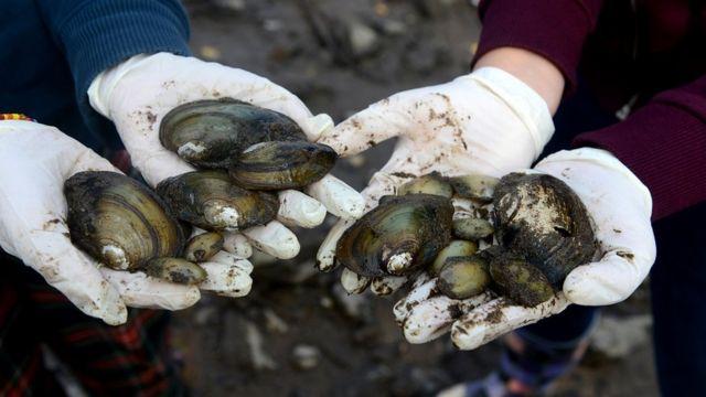 伏尔塔瓦河中发现的鸭贻贝