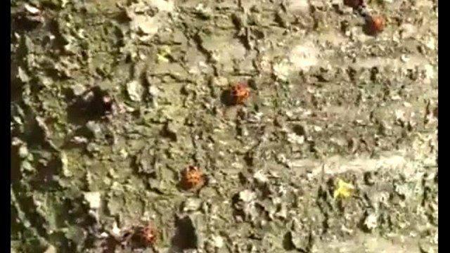 Ladybirds gather on a dead tree at Preston Golf Club
