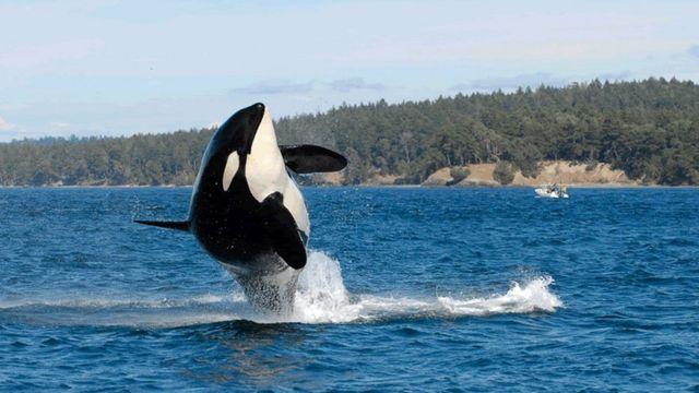 World's oldest known killer whale Granny dies