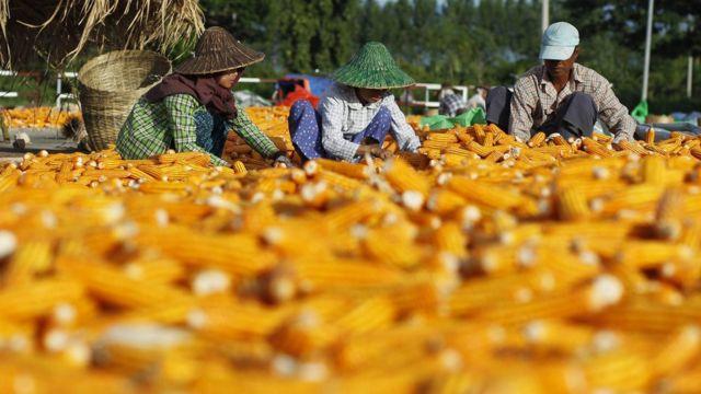 Myanmar workers preparing corn for drying in a field during the harvest in Naypyitaw, Myanmar,