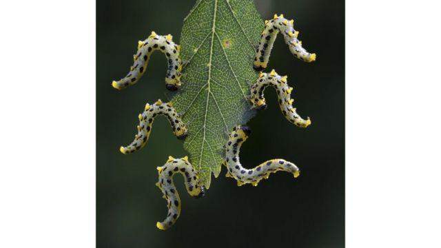 Larvas de moscas de sierra.