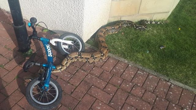 Man finds boa constrictor in Scottish Borders garden