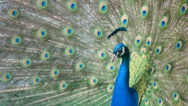 Un pavo real con su cola completamente desplegada.