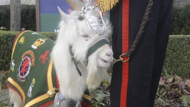 The 1st Battalion The Royal Welsh's latest recruit - Fusilier Llywelyn