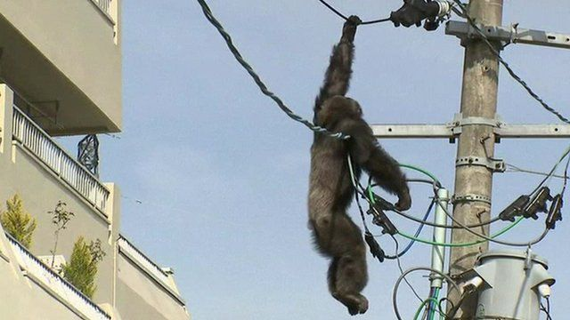 Chacha hanging from power line