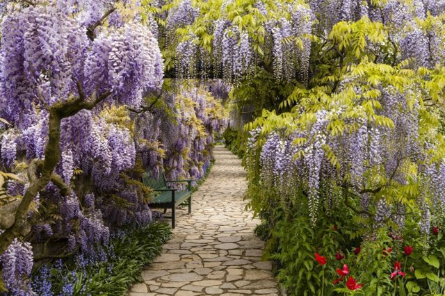 A cobbled path with purple plants hanging on both sides