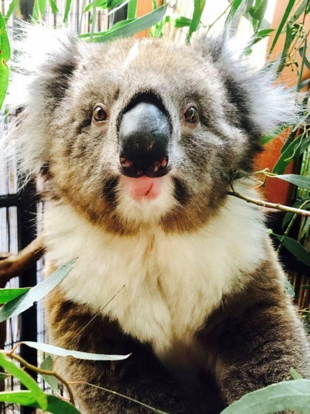 dişi koala