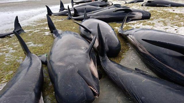 416 balina özünü Yeni Zelandiyanın Golden-Bay adasının sahillərinə atıb