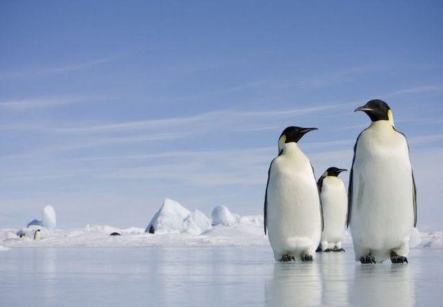 帝企鵝靠著抱團取暖的團隊精神頑強地生活在南極大陸。