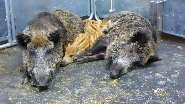 مرض حمى الخنازير الأفريقية