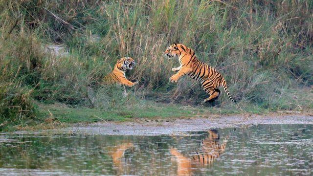पाटे बाघ