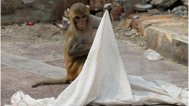 Majmun u Indiji