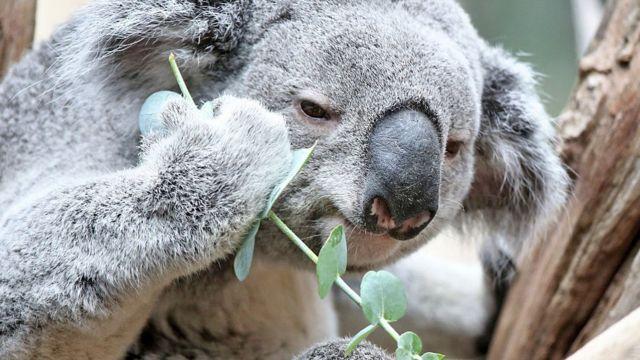 Koala užina