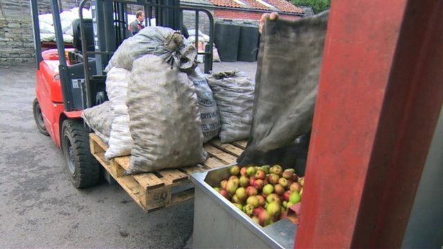 Cider apples emptied into a crasher