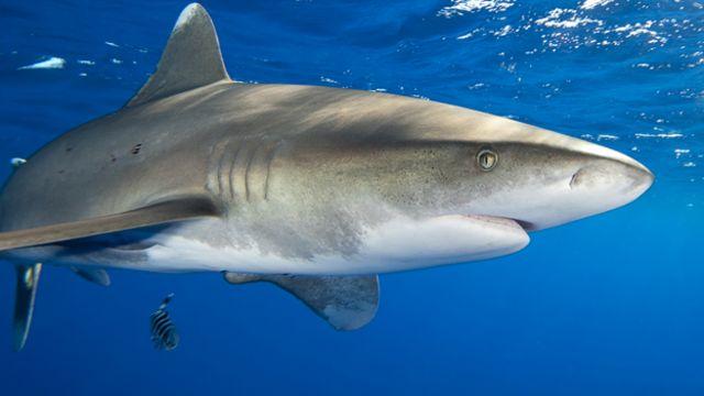 tubarão-galha-branca-oceânico