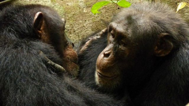 Two adult males of the South group in the Tai National Park, Ivory Coast, grooming