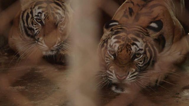 Tigers behind bars