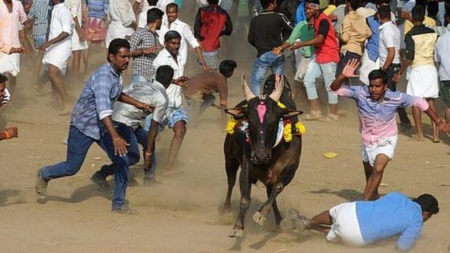 ভারত, জাল্লিকাটু