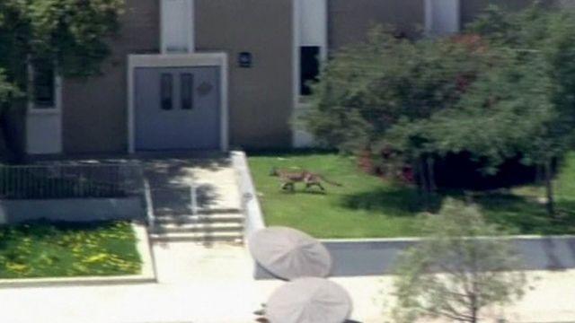 Lion on school campus in Granada Hills, Los Angeles