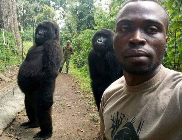 Gorillas posing for selfie in Virunga National Park, DR Congo