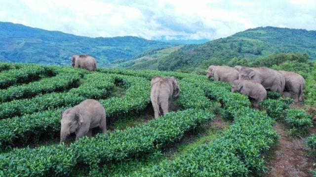 gajah cina