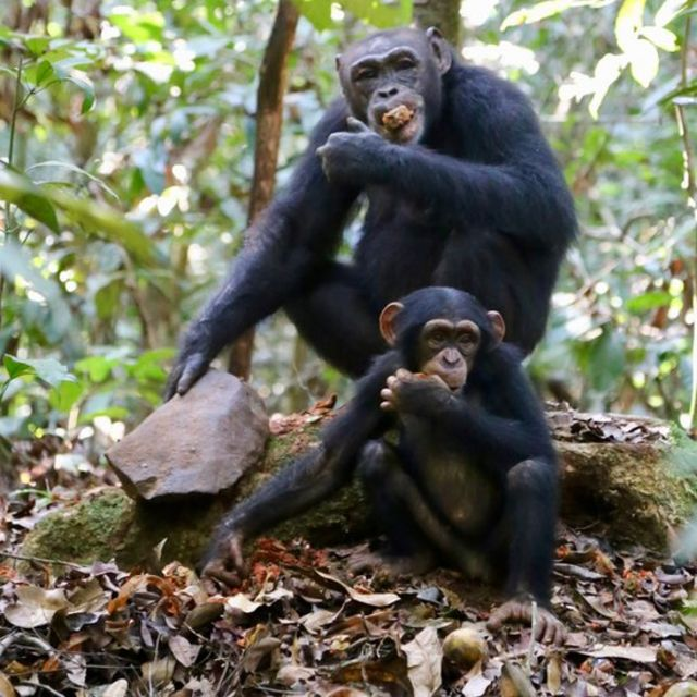 Chimpanzees in the Taï forest of Ivory Coast crack nuts with a stone hammer