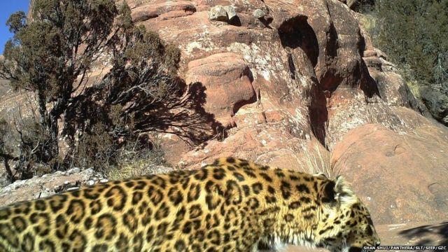 A common leopard caught on camera in a different part of Qinghai province, China, on 6 December 2015