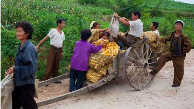 Người dân Bắc Hàn thu hoạch ngô từ cánh đồng