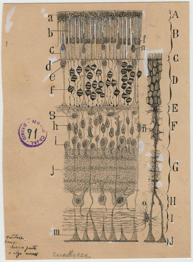 En este dibujo Cajal resumió todos los tipos importantes de células y capas estructurales de la retina.