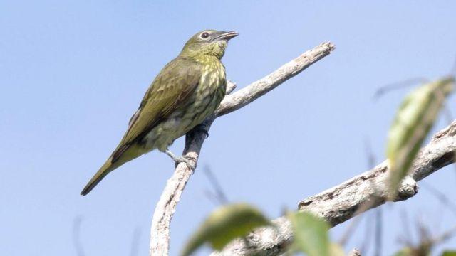 Uma araponga-da-Amazônia fêmea no galho