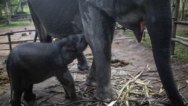 teenage and adult elephant