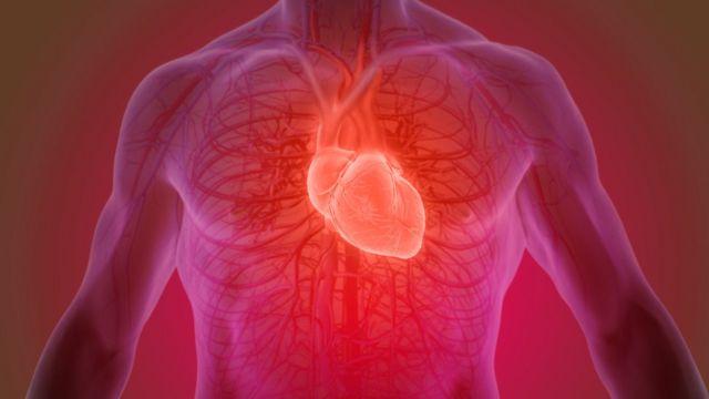 Сердце у человека
