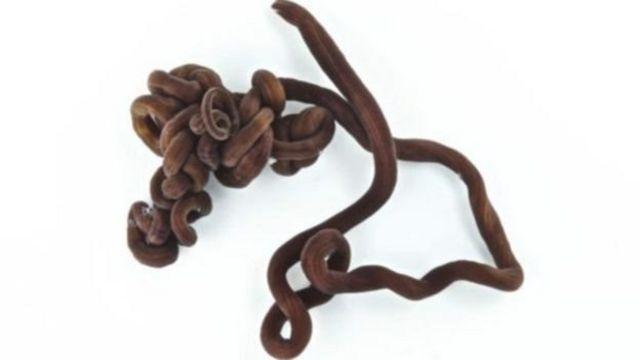 Abinci na tafiya mai nisa a cikin wannan tsutsar (Ribbon worm Llongissimus)