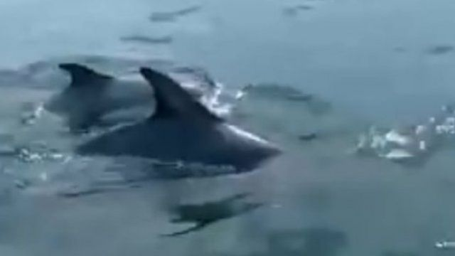 Dolphins off Gower