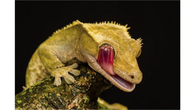 Gecko crestado de Nueva Caledonia