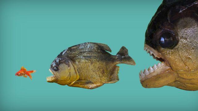 Duas piranhas com a boca aberta em direção a peixe pequeno