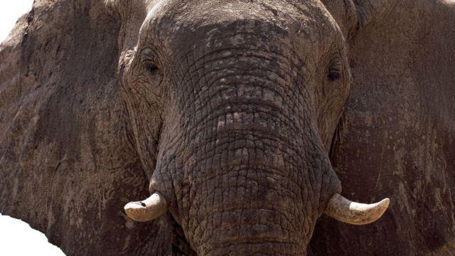 Elefante em Botsuana