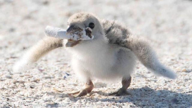 Filhote de pássaro comendo bituca de cigarro