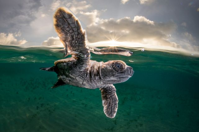 Baby hawk turtle