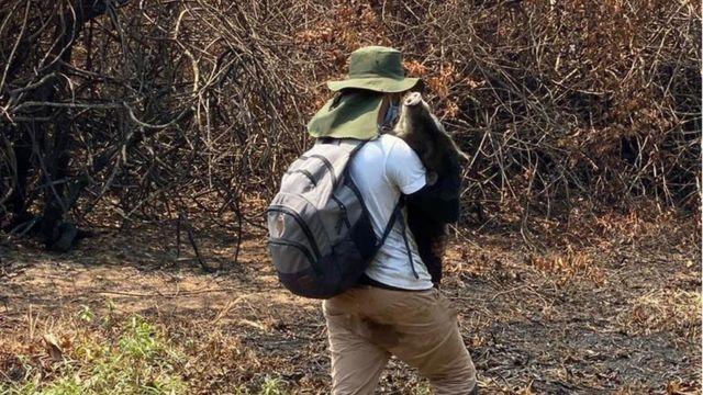 Queixada sendo resgatado dos incêndios