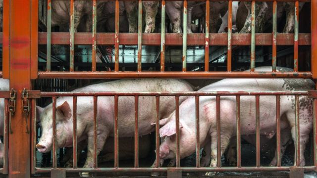 Imagem mostra porcos confinados em uma espécie de gaiola