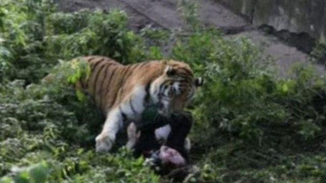 Di tiger dey attack di zoo worker.